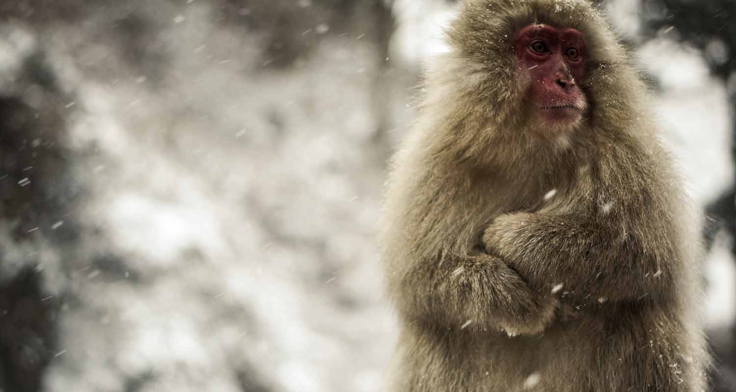 Annoyed Onsen Monkey in the snow